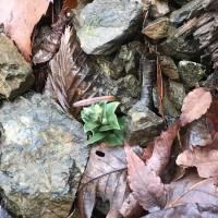 フデリンソウの新芽