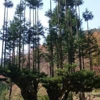 巨大台杉春