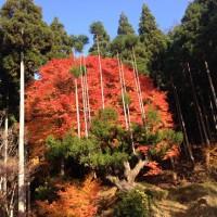 IMG_3779(台杉と紅葉)縮小30%20141123