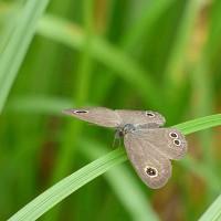 13雲ヶ畑の蝶