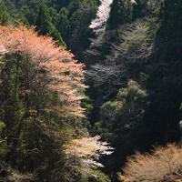 1渓谷の山桜